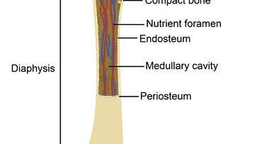 Illustration showing a normal bone structure with various labelled parts.