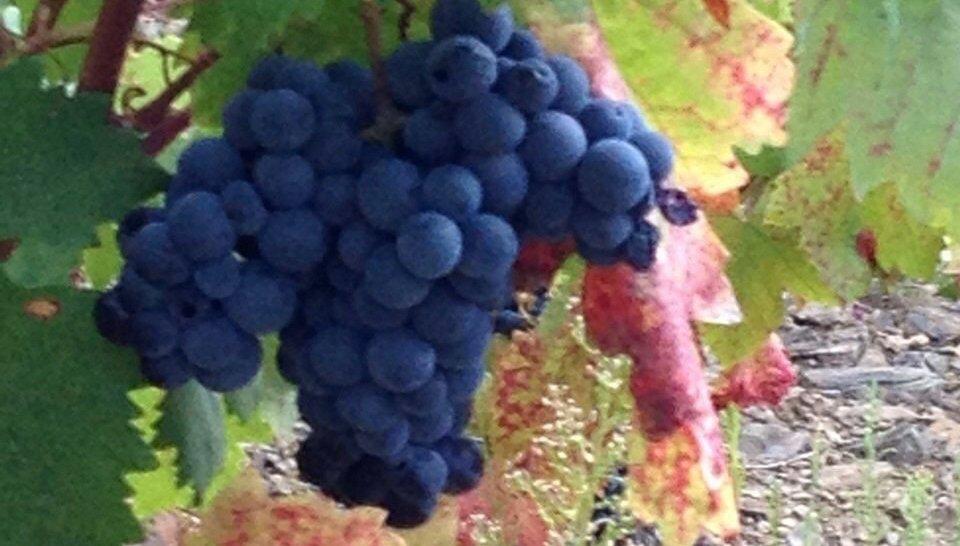 Grapes.