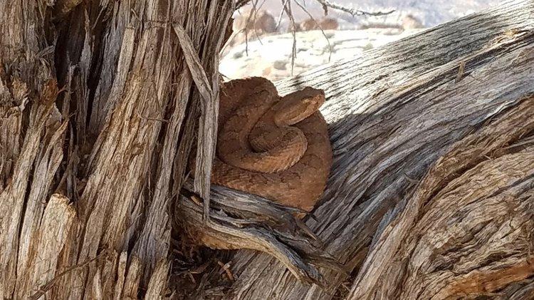 Midget Faded Rattlesnake Bite