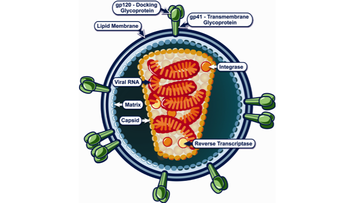 Structure of human immunodeficiency virus (HIV).