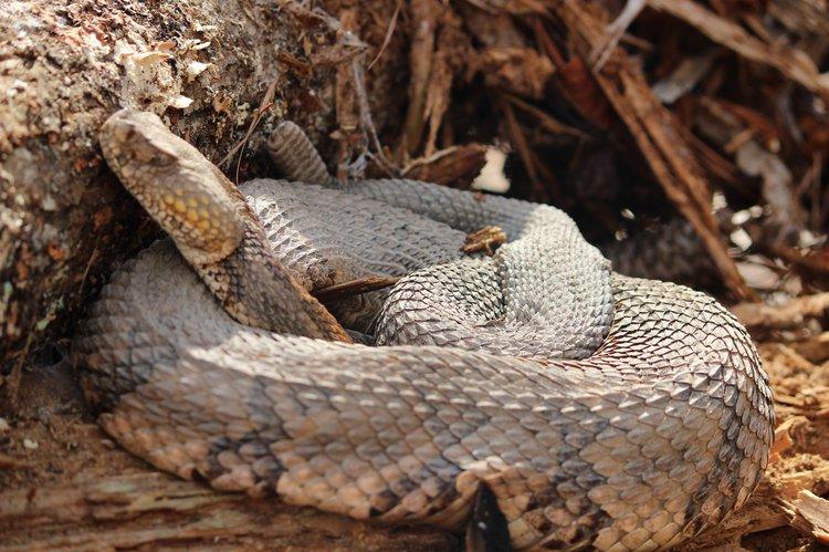 Timber Rattlesnake Bite