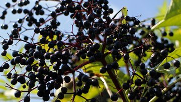 Black elderberries.