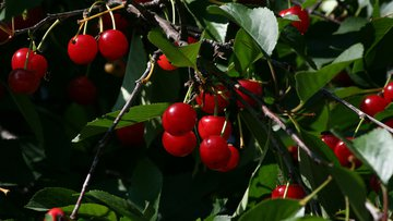 cherries, red, fruit, ripe, tree, food, fresh, healthy, organic, tasty, freshness, dessert, juicy, growing, harvest, harvesting, summer, leaves, leaf, sweet, delicious, cherry, farm, farming.jpg