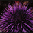 Purple sea urchin in Channel Islands National Marine Sanctuary.