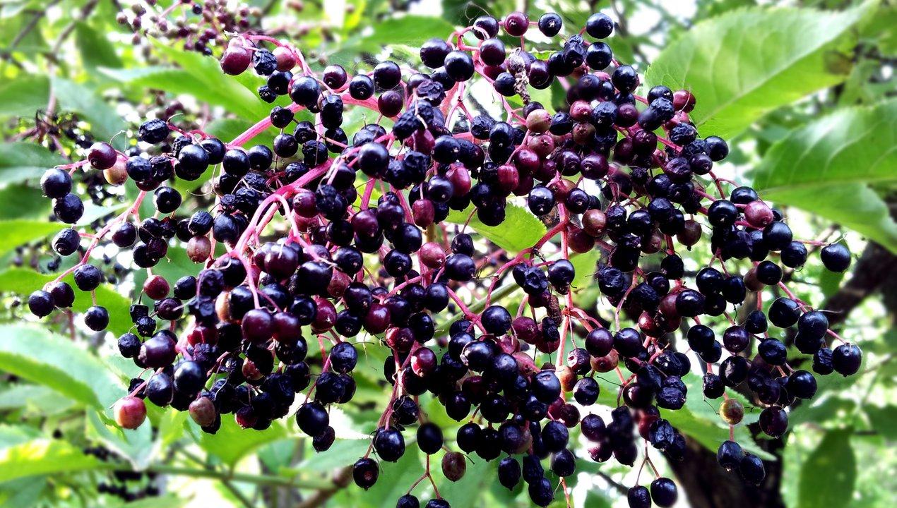 Black elderberries.