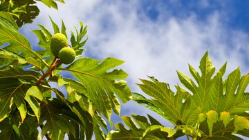 fruit, food, breadfruit, ripe, tasty, green, sweet, tree, tropical, exotic, foliage, production, round, oval, sky.jpg