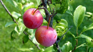 fruit, plum, food, sweet, ripe, red , free photos, free images.jpg