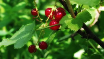 ribes rubrum, currants, redcurrants, plants, nature, outside, close-up