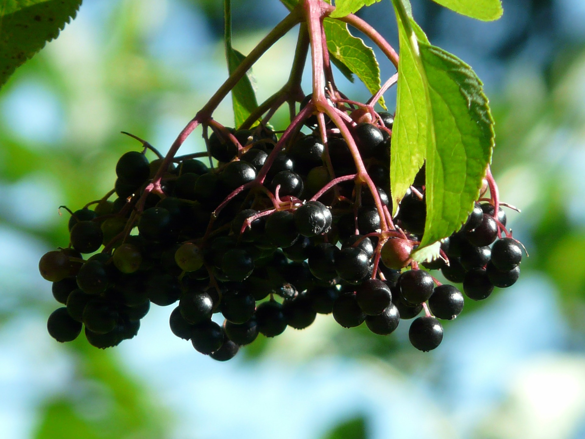 Elderberry extract for sexual health